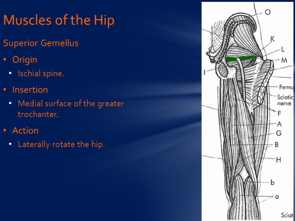 Superior Gemellus Origin Ischial spine. Insertion Medial surface of the greater trochanter. Action Laterally rotate the hip. Muscles of the Hip