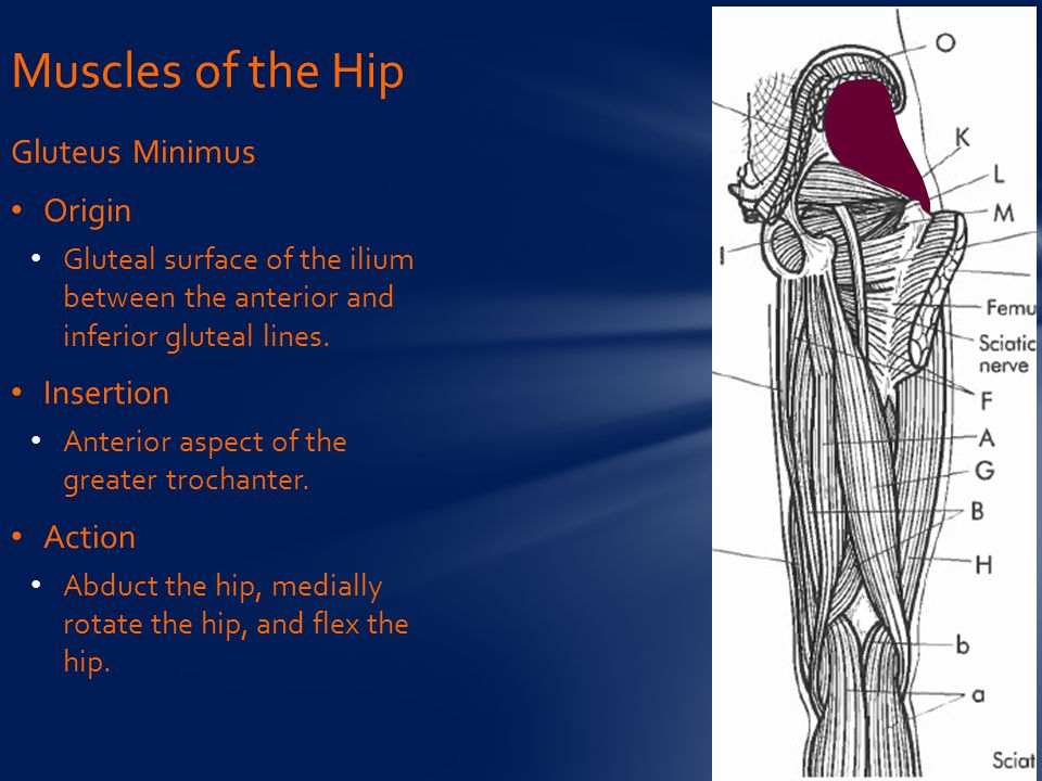 Gluteus Minimus Origin Gluteal surface of the ilium between the anterior and inferior gluteal lines. Insertion Anterior aspect of the greater trochant