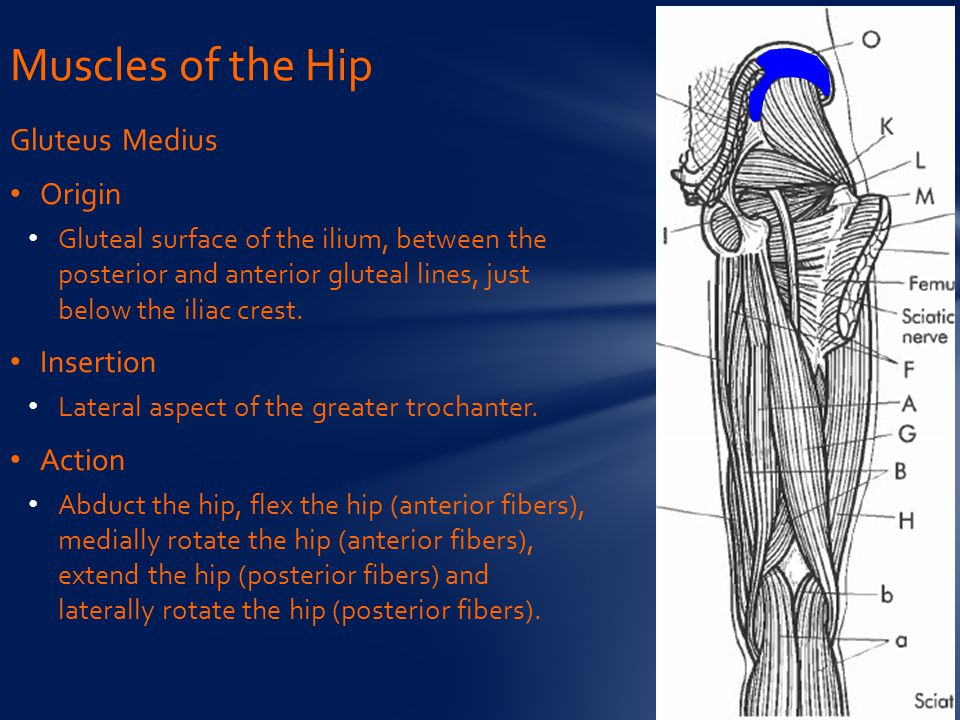 Gluteus Medius Origin Gluteal surface of the ilium, between the posterior and anterior gluteal lines, just below the iliac crest.