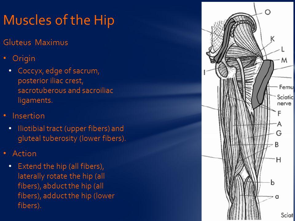 Gluteus Maximus Origin Coccyx, edge of sacrum, posterior iliac crest, sacrotuberous and sacroiliac ligaments.
