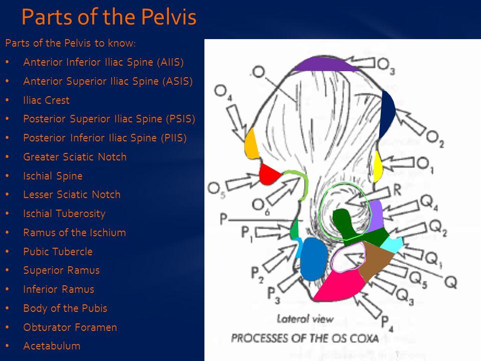 Parts of the Pelvis to know: Anterior Inferior Iliac Spine (AIIS) Anterior Superior Iliac Spine (ASIS) Iliac Crest Posterior Superior Iliac Spine (PSIS) Posterior Inferior Iliac Spine (PIIS) Greater Sciatic Notch Ischial Spine Lesser Sciatic Notch Ischial Tuberosity Ramus of the Ischium Pubic Tubercle Superior Ramus Inferior Ramus Body of the Pubis Obturator Foramen Acetabulum Parts of the Pelvis
