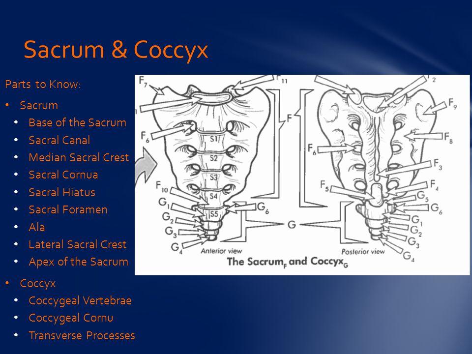 Parts to Know: Sacrum Base of the Sacrum Sacral Canal Median Sacral Crest Sacral Cornua Sacral Hiatus Sacral Foramen Ala Lateral Sacral Crest Apex of the Sacrum Coccyx Coccygeal Vertebrae Coccygeal Cornu Transverse Processes Sacrum & Coccyx