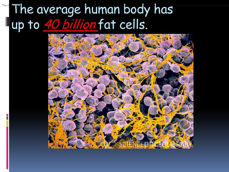 The average human body has up to 40 billion fat cells.
