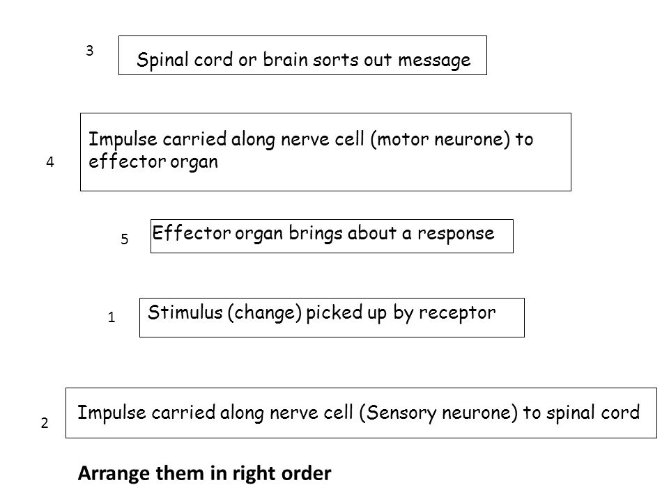 Stimulus (change) picked up by receptor Impulse carried along nerve cell (Sensory neurone) to spinal cord Spinal cord or brain sorts out message Impul