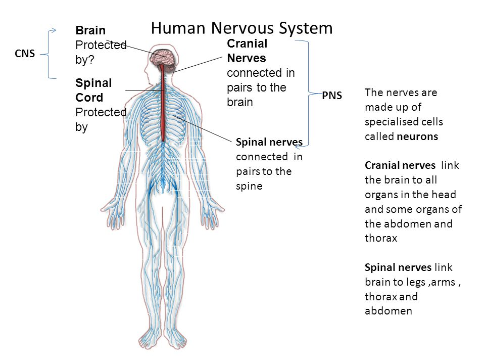Human Nervous System Brain Protected by? Spinal Cord Protected by Cranial Nerves connected in pairs to the brain. i Spinal nerves connected in pairs t