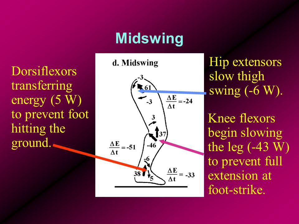 Midswing Dorsiflexors transferring energy (5 W) to prevent foot hitting the ground. Knee flexors begin slowing the leg (-43 W) to prevent full extensi