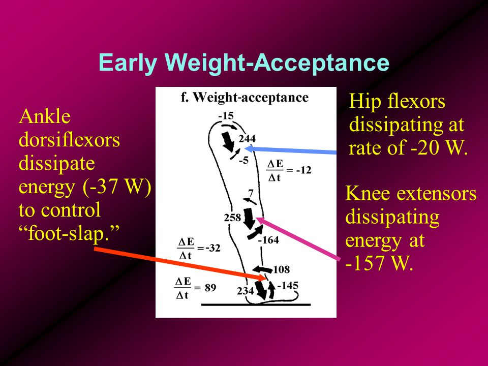 """Early Weight-Acceptance Ankle dorsiflexors dissipate energy (-37 W) to control """"foot-slap."""" Knee extensors dissipating energy at -157 W. Hip flexors d"""