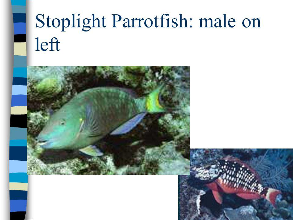 Stoplight Parrotfish: male on left