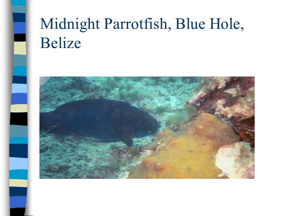 Midnight Parrotfish, Blue Hole, Belize
