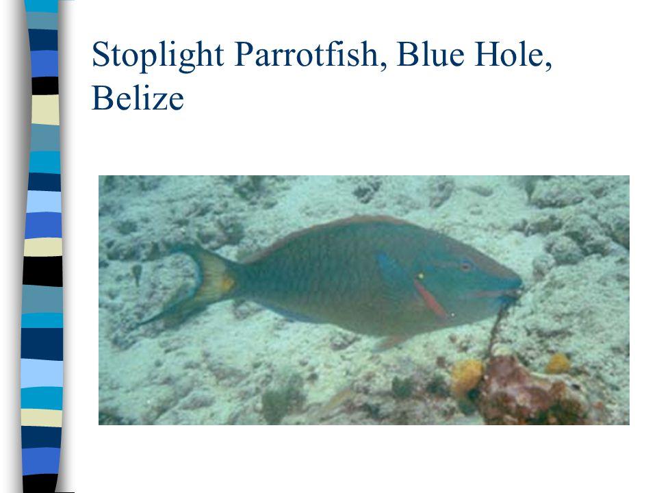 Stoplight Parrotfish, Blue Hole, Belize