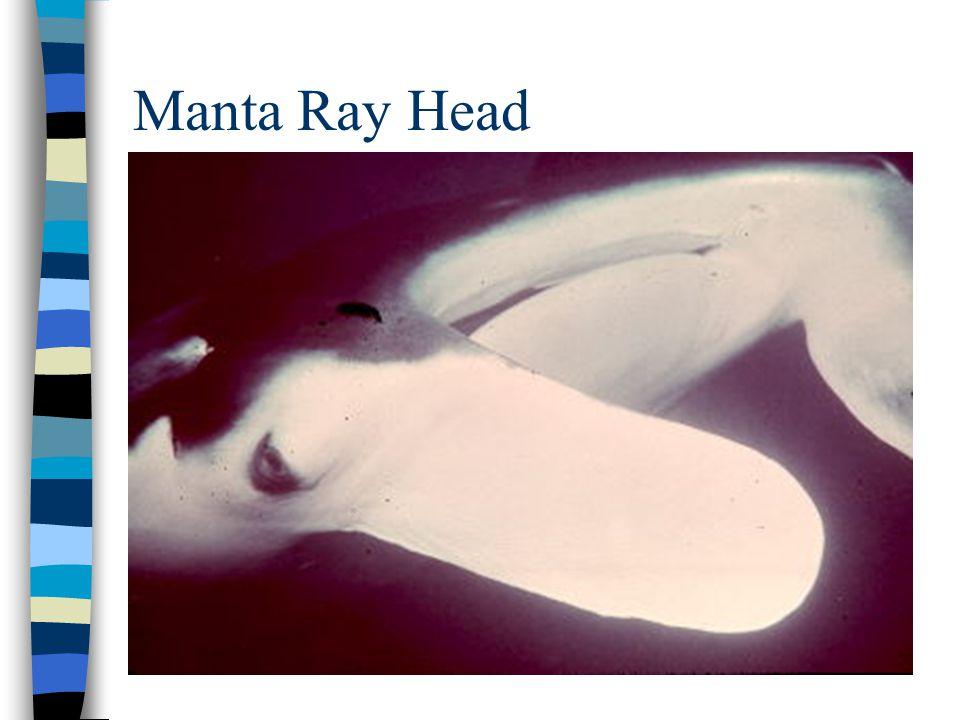 Manta Ray Head