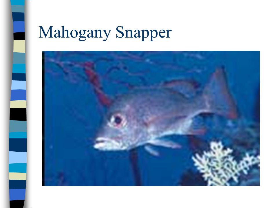 Mahogany Snapper