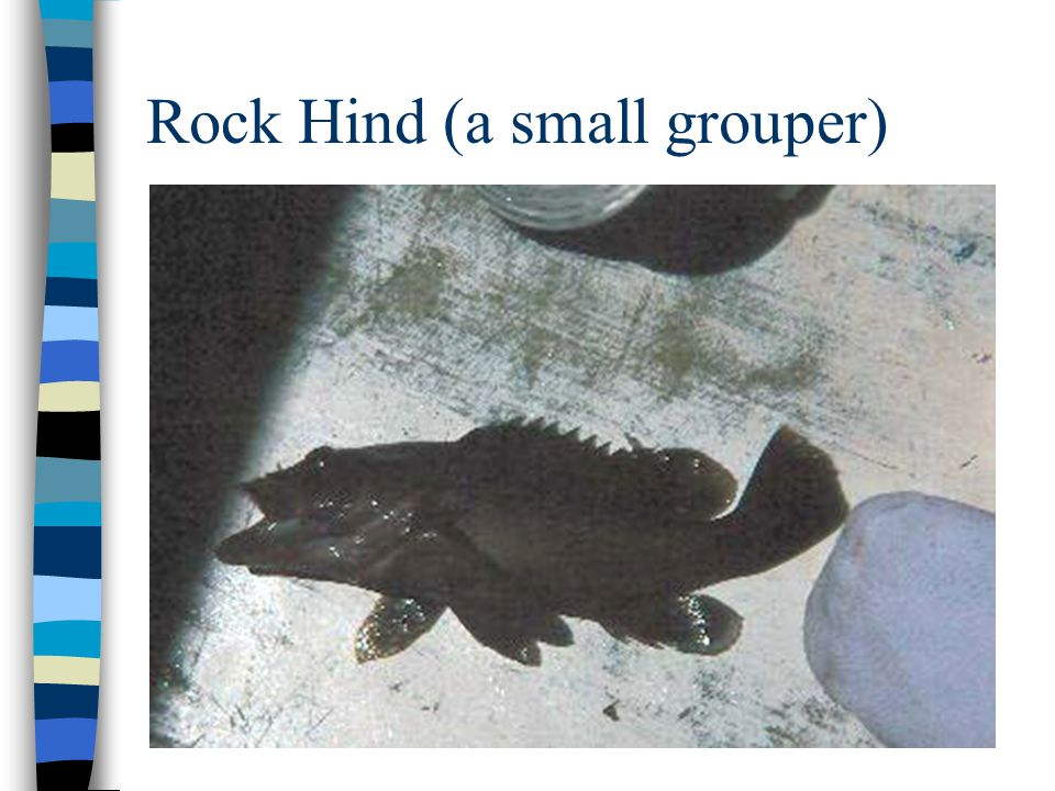 Rock Hind (a small grouper)