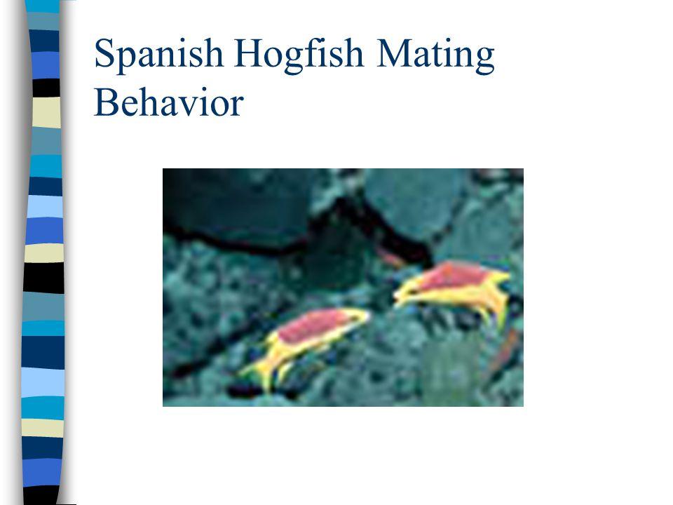 Spanish Hogfish Mating Behavior