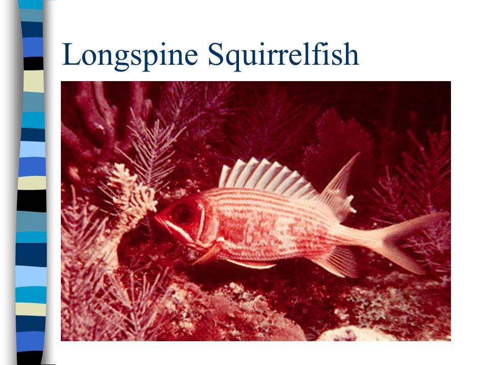 Longspine Squirrelfish
