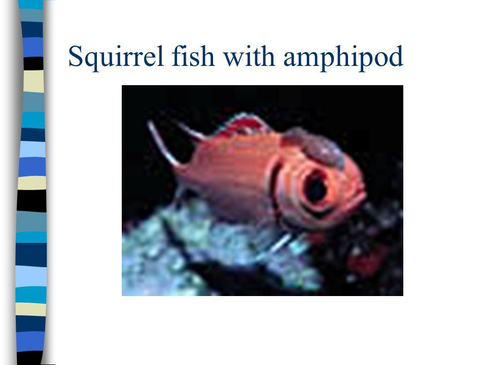 Squirrel fish with amphipod