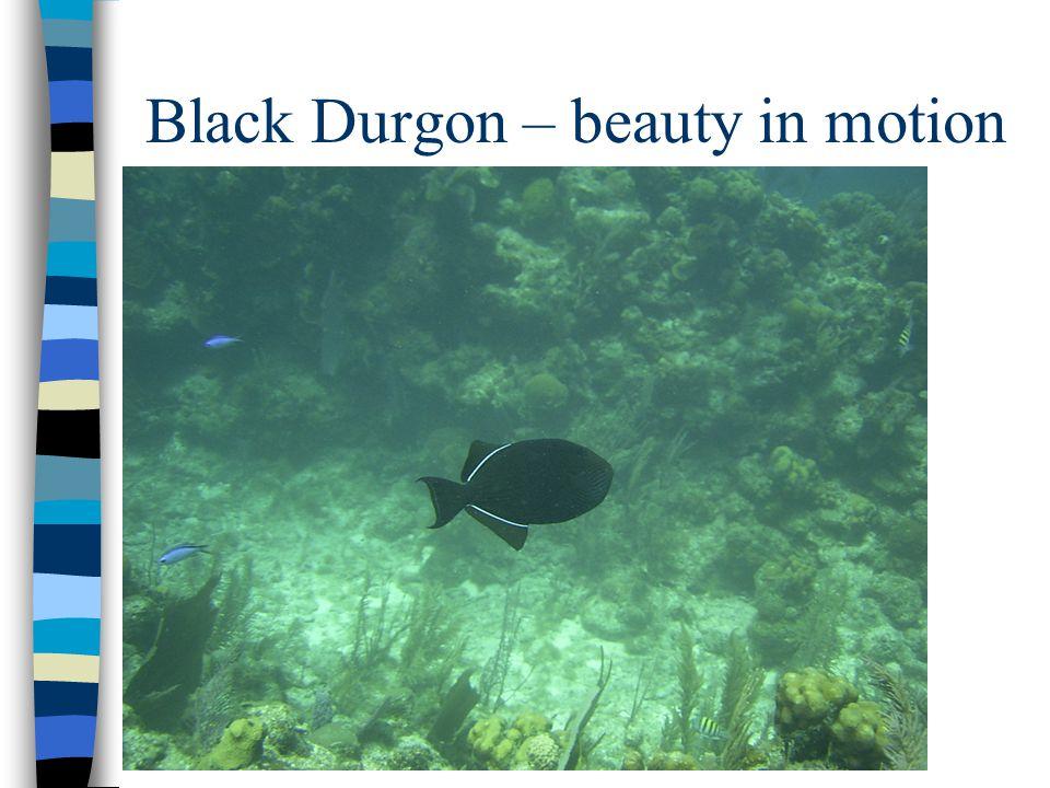 Black Durgon – beauty in motion