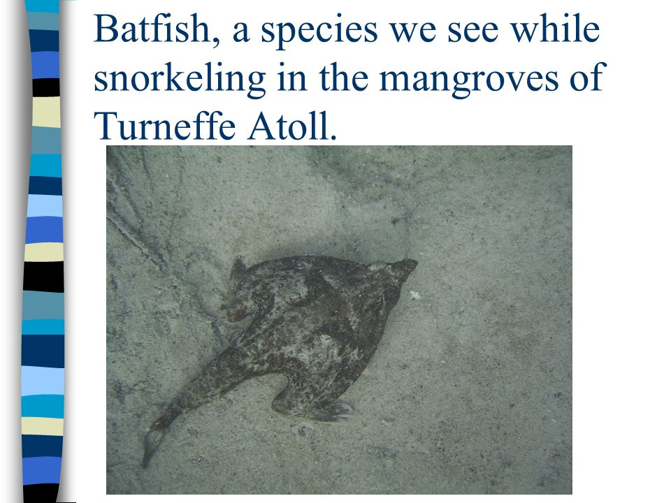 Batfish, a species we see while snorkeling in the mangroves of Turneffe Atoll.