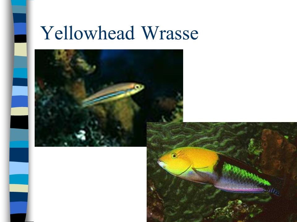 Creole wrasse – a common school fish
