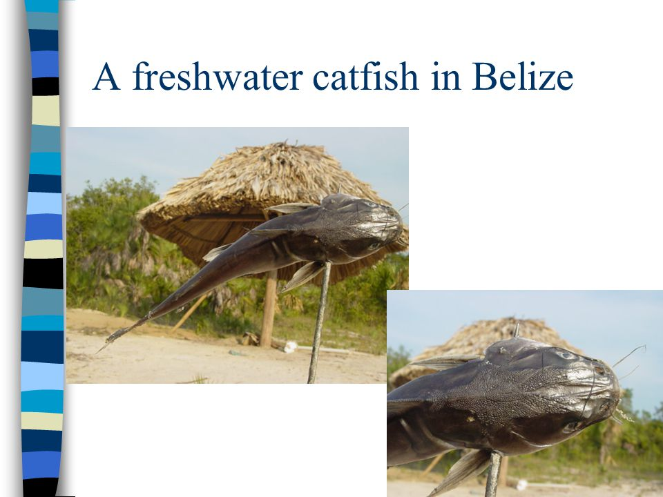 A freshwater catfish in Belize
