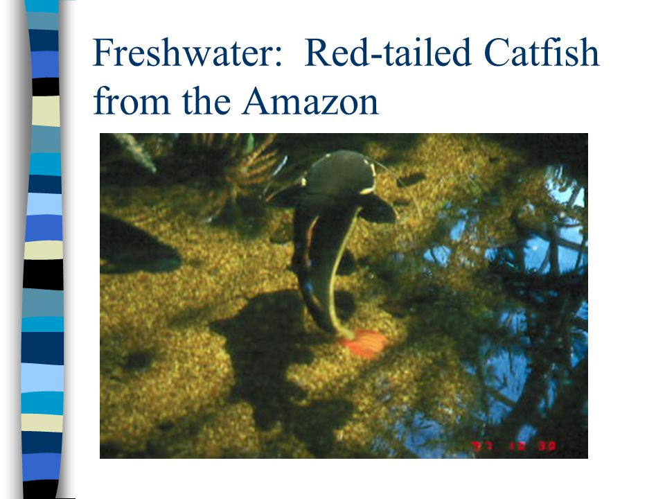 Freshwater: Red-tailed Catfish from the Amazon