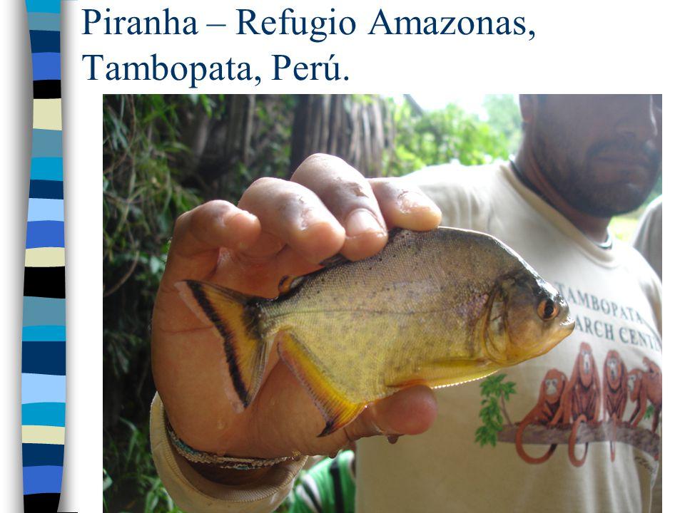 Piranha – Refugio Amazonas, Tambopata, Perú.