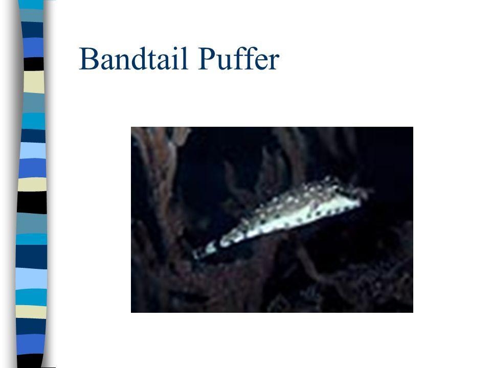 Bandtail Puffer