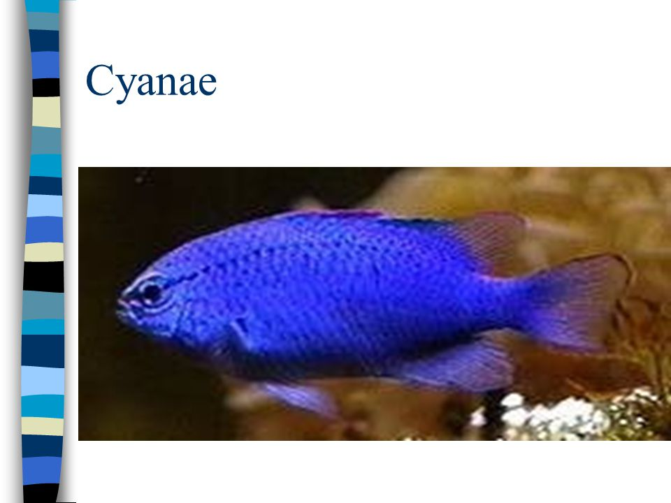Cyanae