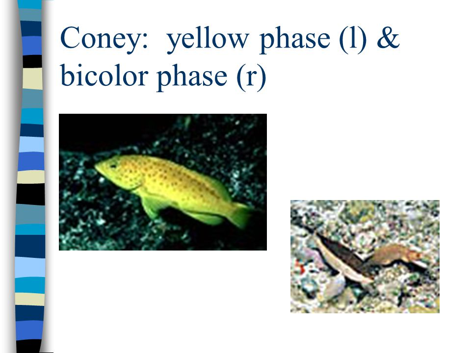 Coney: yellow phase (l) & bicolor phase (r)