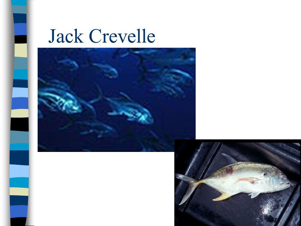 Jack Crevelle
