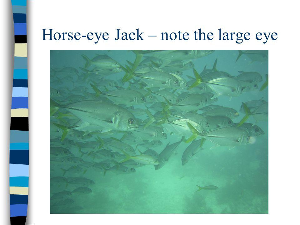 Horse-eye Jack – note the large eye