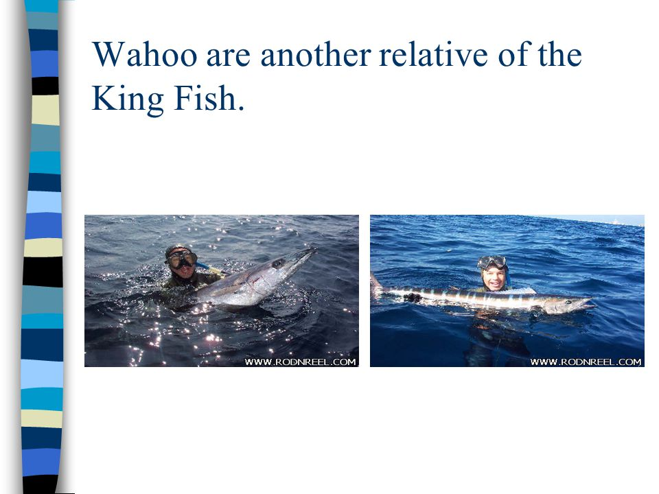 Wahoo are another relative of the King Fish.