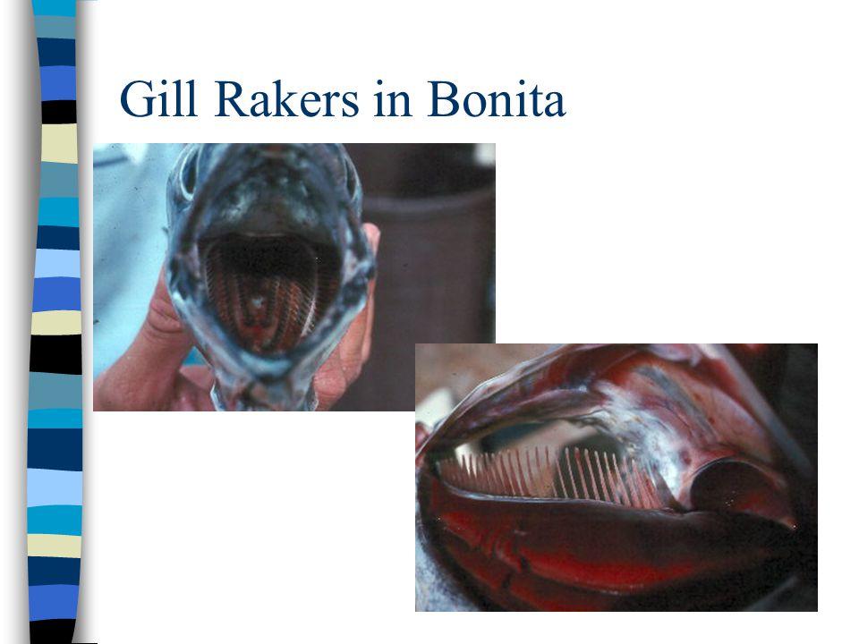 Gill Rakers in Bonita