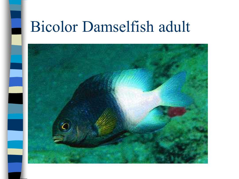 Bicolor Damselfish adult