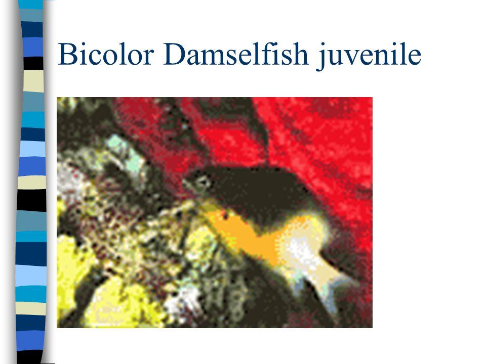 Bicolor Damselfish juvenile