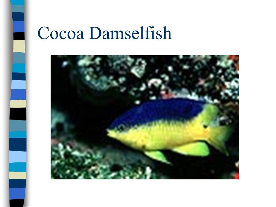 Cocoa Damselfish