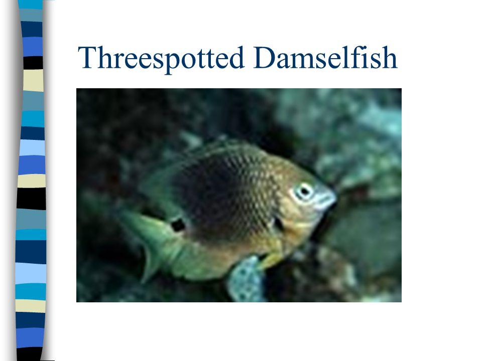 Threespotted Damselfish