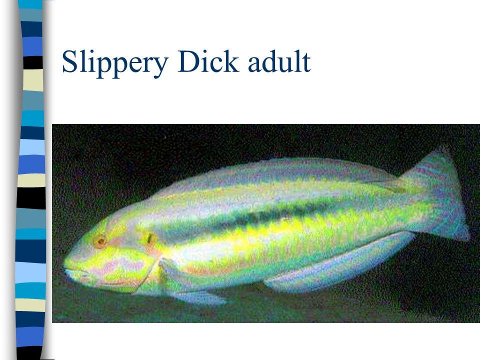 Slippery Dick adult