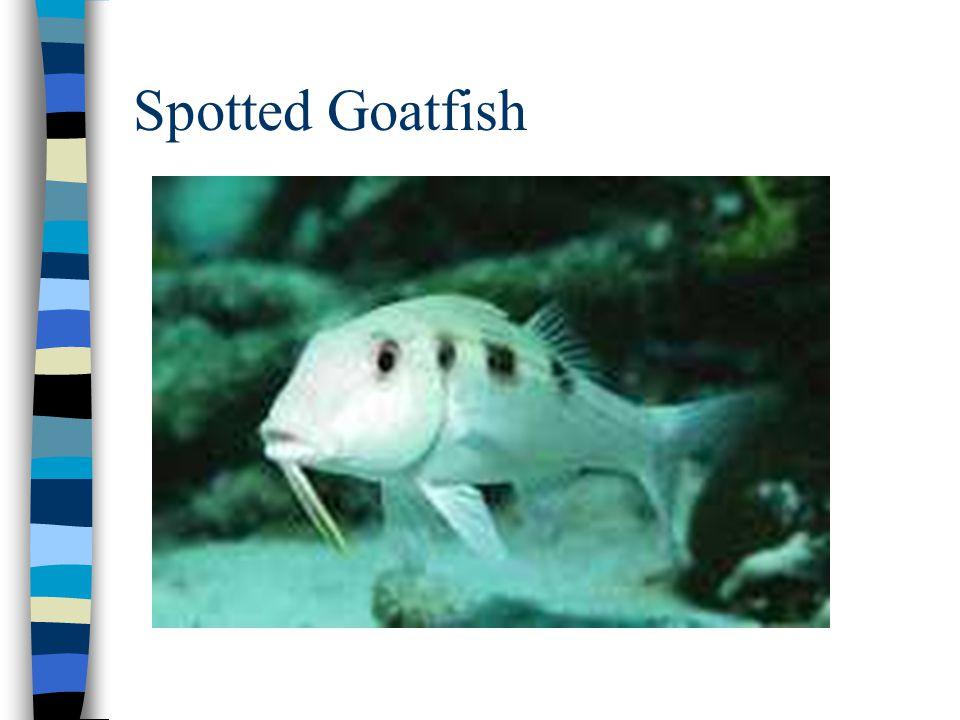 Spotted Goatfish