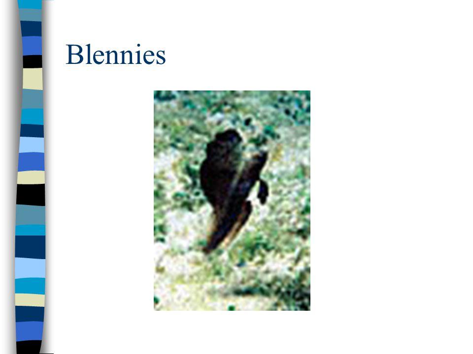 Blennies