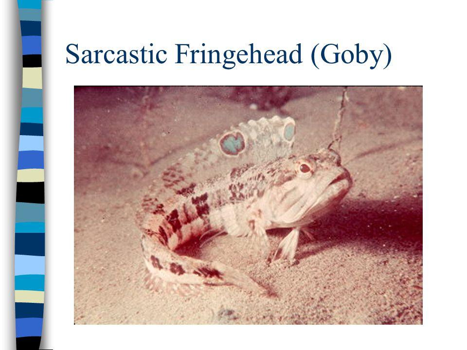 Sarcastic Fringehead (Goby)