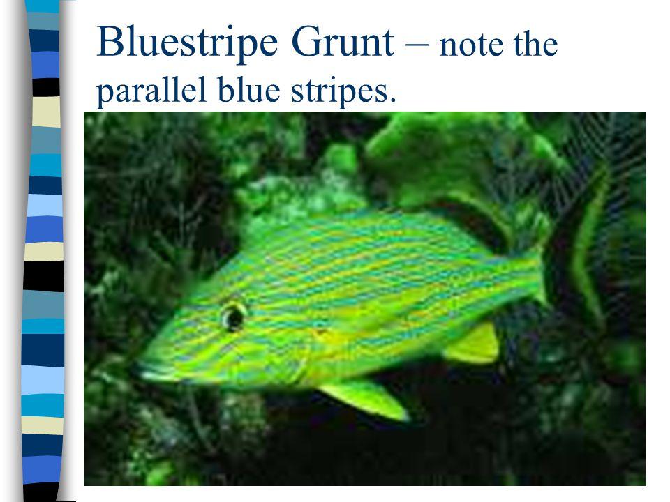 Bluestripe Grunt – note the parallel blue stripes.