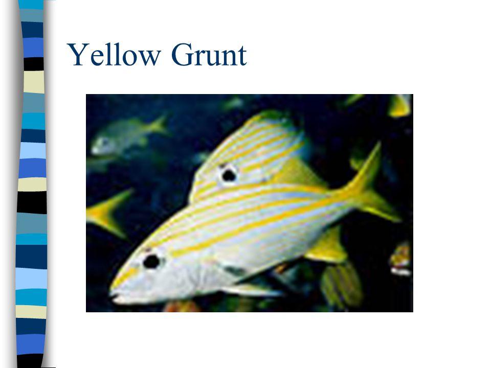 Yellow Grunt