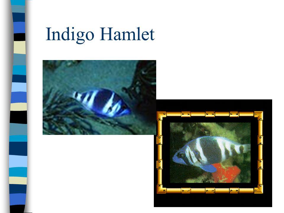 Indigo Hamlet