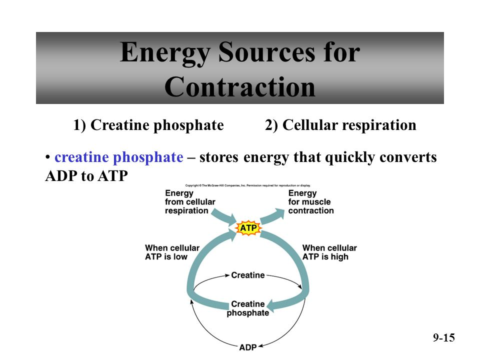 Oxygen Supply and Cellular Respiration 9-16 Anaerobic Phase glycolysis produces little ATP Aerobic Phase citric acid cycle electron transport chain produces most ATP myoglobin stores extra oxygen