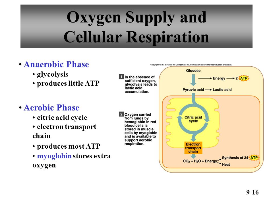 Oxygen Debt 9-17 oxygen not available glycolysis continues pyruvic acid converted to lactic acid liver converts lactic acid to glucose Oxygen debt – amount of oxygen needed by liver to convert lactic acid to glucose