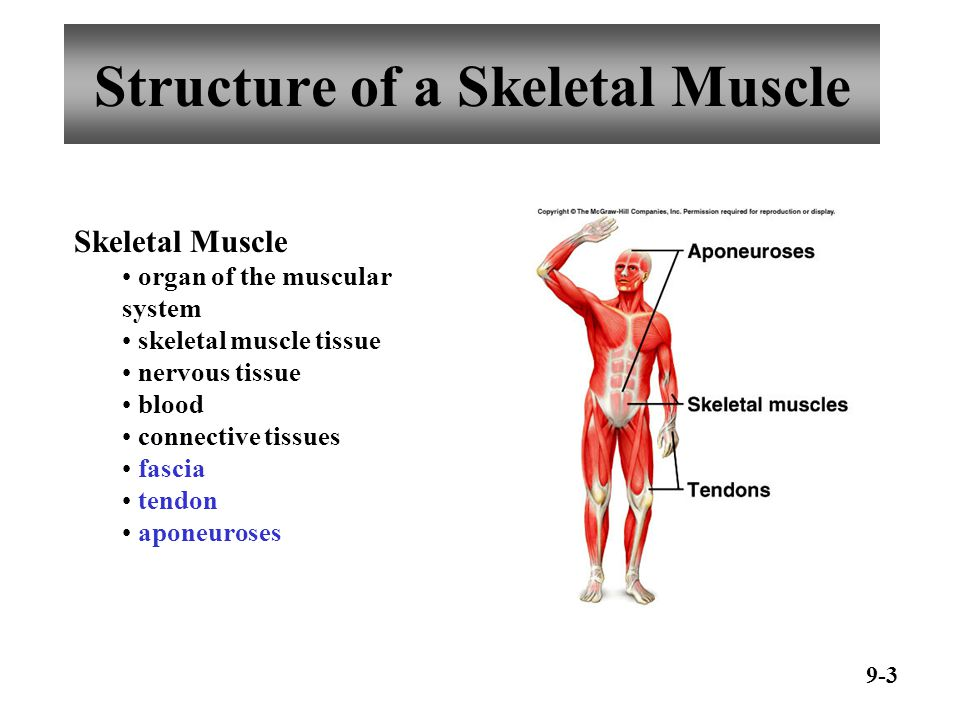 Structure of a Skeletal Muscle 9-4 epimysium perimysium fascicle endomysium muscle fascicles muscle fibers myofibrils thick and thin filaments