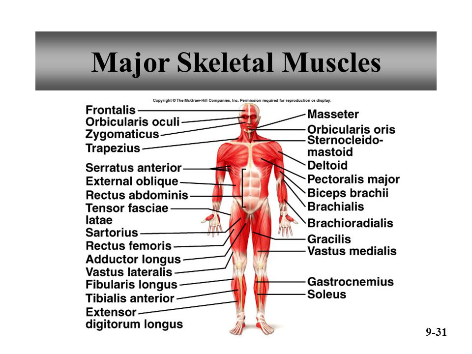 Major Skeletal Muscles 9-32