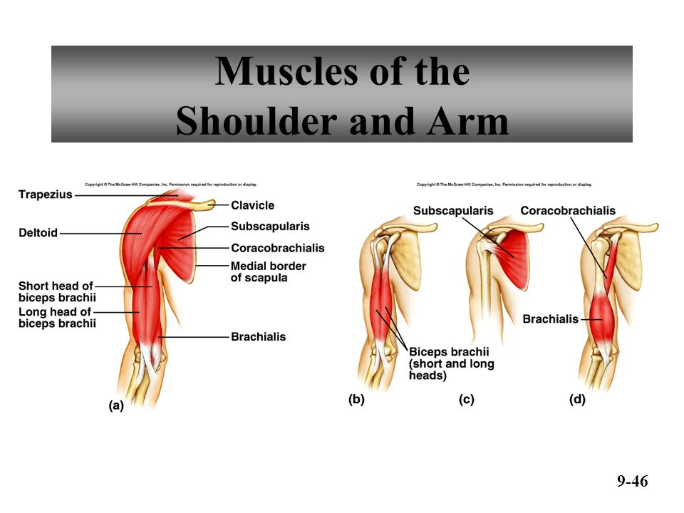 Muscles of the Arm and Forearm 9-47