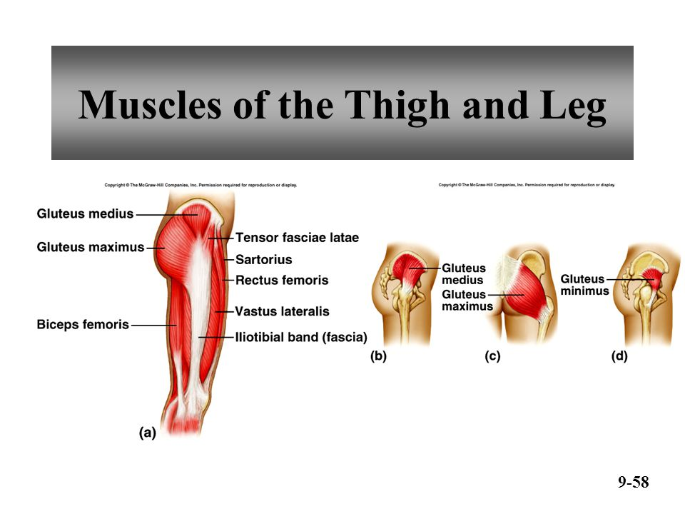 Muscles of the Thigh and Leg 9-59